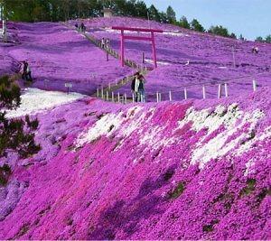 Hoa Chi Anh Nhật Bản - tấm thảm hồng mềm mại và bất tận
