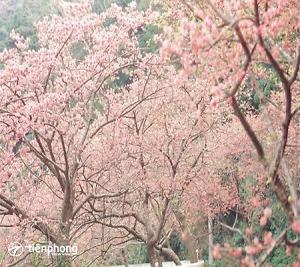 Du lịch Nhật Bản mùa hoa anh đào - đắm mình trong sắc hồng rực rỡ