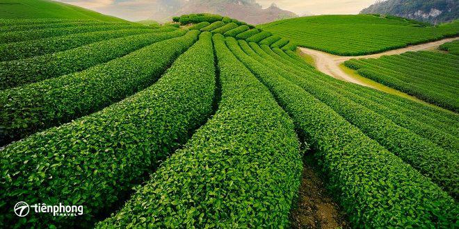 du lịch Mộc Châu tết âm lịch - Những đồi chè xanh mướt