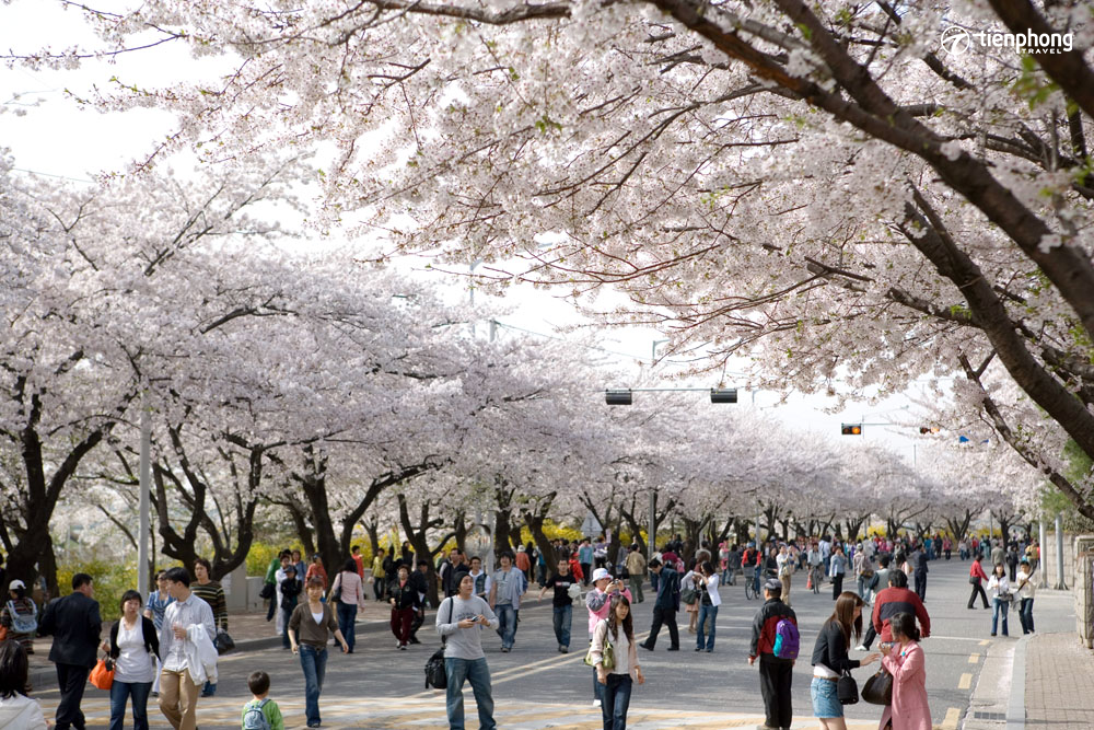 Du lịch Hàn Quốc mùa hoa anh đào - Tiên Phong Travel