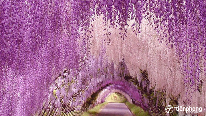 Tới Nhật Bản ngắm hoa Tử Đằng