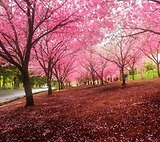 Các mùa hoa ở Nhật Bản