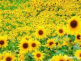 Cẩm nang du lịch: Cách chụp ảnh đẹp khi tới Nghệ An ngắm hoa hướng dương