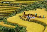 Tuần Văn hóa Du lịch Mường Lò - Khám phá Mù Cang Chải mùa lúa chín