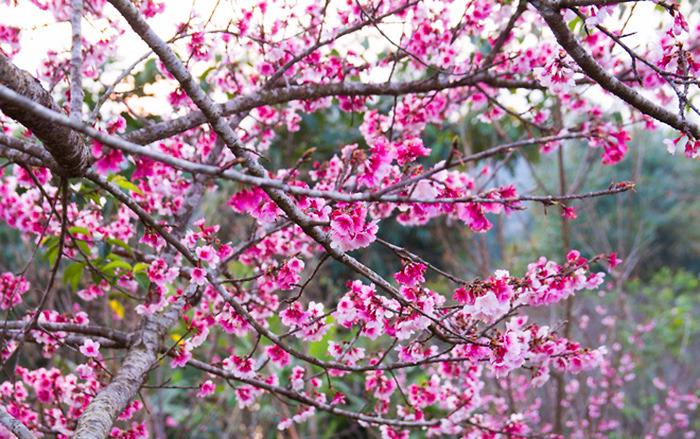 Chiêm ngưỡng sắc hoa anh đào trên mảnh đất Điện Biên lịch sử