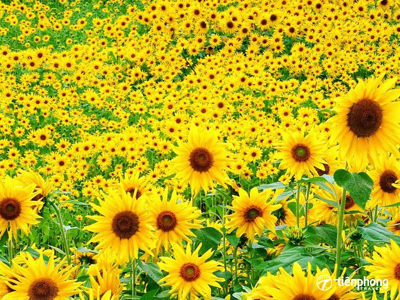 Hoa hướng dương Nghệ An nởtháng mấy?