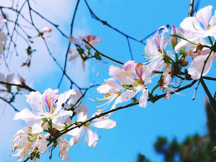 Điện Biên - mùa hoa ban dịch vụ tốt