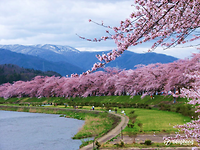 Mãn nhãn với rừng hoa anh đào Nhật Bản đẹp yêu kiều