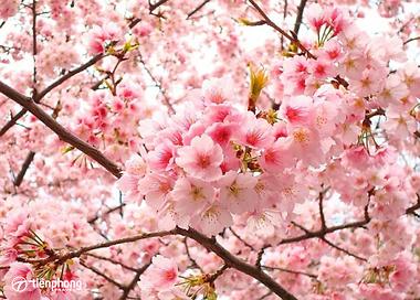 Du lịch Nhật Bản mùa xuân đắm mình trong sắc hoa anh đào dịu ngọt